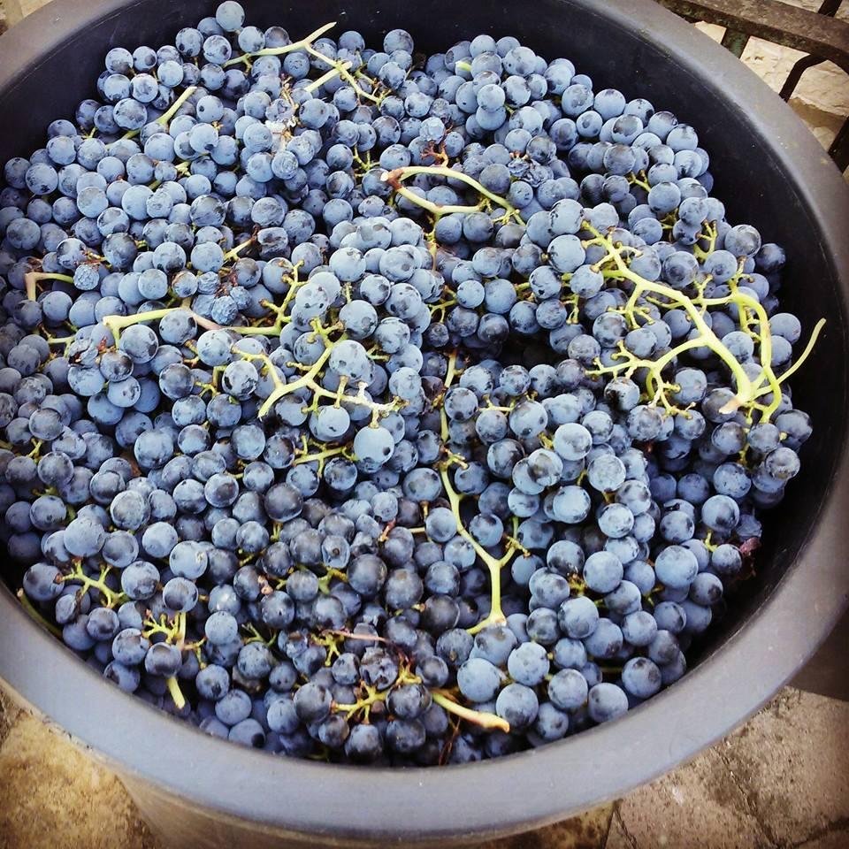 Grande cesto di plastica pieno di grappoli d'uva nera appena raccolta, da cui si ricava il Grero o Nero di Todi